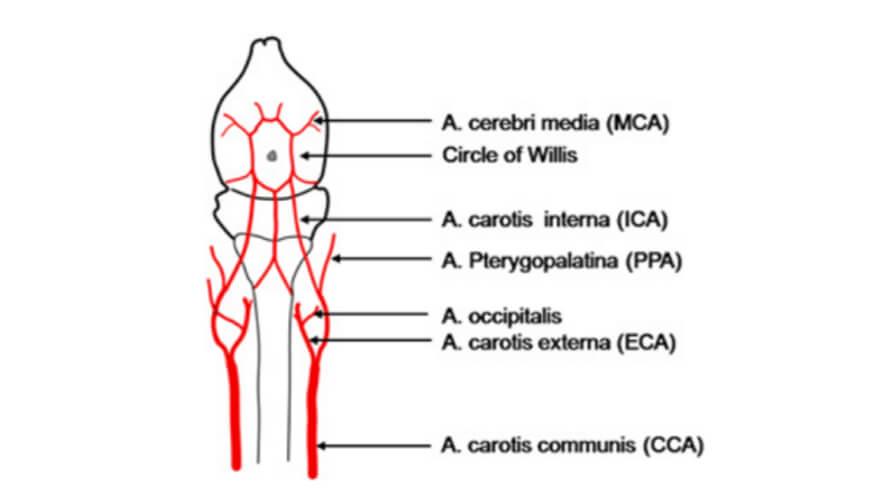 Scheme of the vessel architecture